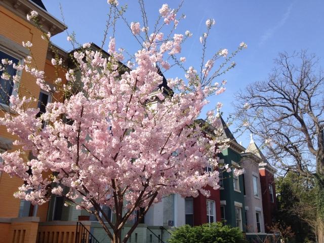 113 R Street N.E. Cherry Blossoms