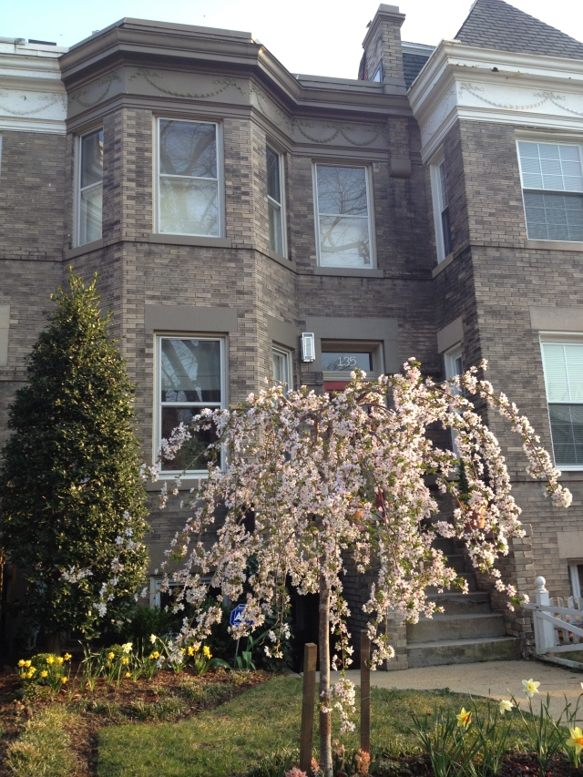 135 R Street N.E. Washington D.C. Eckington Cherry Blossoms
